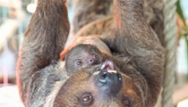 2 baby sloths were born at Busch Gardens in Tampa and they are the cutest things ever