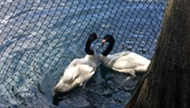 Two new male swans unveiled at Orlando's Lake Eola Park
