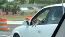Raccoon named Hank Williams enjoys car rides in the Florida summer