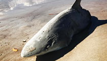 A half-eaten shark washed up on New Smyrna Beach last weekend