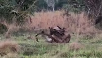 Florida panthers filmed fighting in the wild for the first time ever