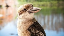 Orlando's Gatorland adds kookaburra to its 'kooky' family of animals
