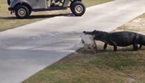 Watch this gator drag a big dead fish across a Florida golf course