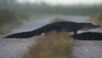 Florida photographer films a 'non-stop gator crossing'