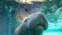 Florida legislators want to put manatees back on the endangered species list