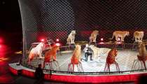Feld Entertainment applies for permit to send tigers to German circus