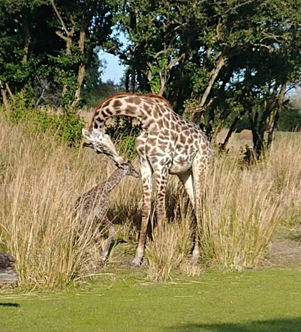 Guests witnessed the birth of a new baby giraffe at Disney's Animal Kingdom