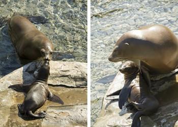 Cute alert: SeaWorld announces birth of two sea lions pups