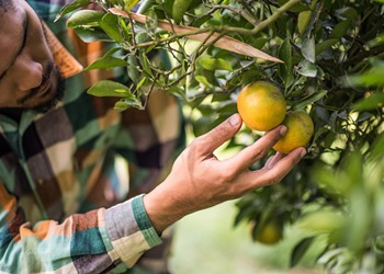 Florida senators Rubio and Scott ask USDA to stop new rule allowing citrus imports from China