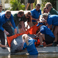 SeaWorld, FWC and others help release four rehabilitated manatees into the wild