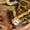 Everglades National Park wants you to start hunting its Burmese pythons