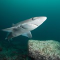A new shark species was discovered with the help of Florida researchers