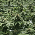 Legal battles mount over Florida's medical marijuana operation licenses