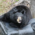 Florida officials would like you to stop feeding trash to bears