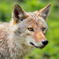 A man actually punted a rabid coyote in Kissimmee