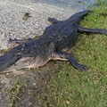 A Volusia County hunter fell off his boat and was bitten by a 12-foot gator