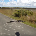 Watch this Florida bicyclist encounter an alligator, or crocodile, or whatever