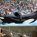 SeaWorld's decisionto end orca breeding is motivated by money more than morality