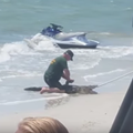 A very lost and confused alligator was caught on Fort Myers Beach last week
