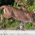 This year, Florida will probably break 2015's record for dead panthers