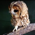 Bring a donation and get to see a baby owl up close at the Audubon Center for Birds of Prey