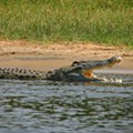 Florida now has a Nile crocodile problem