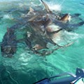 This drone footage of 70 sharks eating a whale carcass is the most metal thing you'll see today