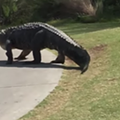 UCF grad stumbles across yet another monster gator on a golf course this week