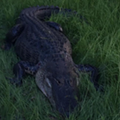 A 9-foot Florida gator was euthanized after biting a man in the leg