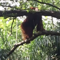 An Orangutan escaped from its enclosure at Busch Gardens today