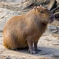 Florida now has a capybara problem