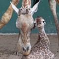 Busch Gardens Tampa Bay just welcomed a new baby giraffe
