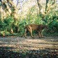 Wildlife authorities are now offering a $5,000 reward for info on whoever killed a Florida panther