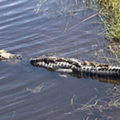 The Orlando International Airport now has even more gators