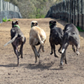Five Florida greyhounds test positive for cocaine