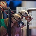 Florida greyhound trainer could face suspension after high levels of caffeine found in dogs