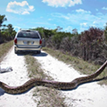 Florida snake hunters have killed 500 Burmese pythons this year