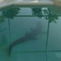 8-foot gator found in Florida homeowner's pool