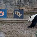 Big dumb panda picks Auburn to beat UCF in Chick-fil-A  Peach Bowl