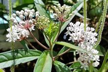 Asclepias perennis, aka aquatic milkweed