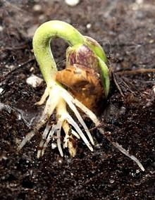 cfcbaad5_bean_sprouting_underground.jpg