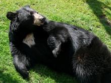 black_bear-27527.jpg