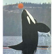 Blackfish tales: Stories of orcas in captivity