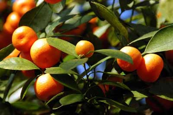 sweet-orange-1jpg