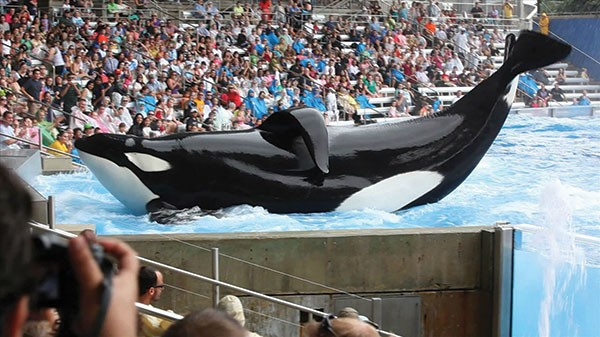 A showman's life: This orca, Tilicum, continues to work at SeaWorld.