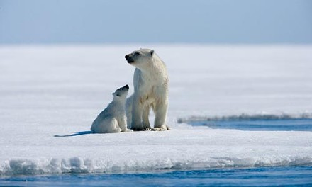 Arctic polar bears, on thin ice