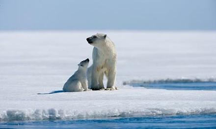 Arctic polar bears, on thin ice