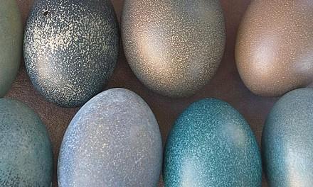 """Egged on: """"Emu (Dromaius novaehollandiae), Western Foundation of Vertebrate Zoology,""""by Rosamond Purcell."""