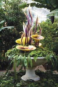"""Flower power: Dale Chihuly's """"Celadon and Royal Purple Gilded Fiori."""" Photo by Terry Rishel."""