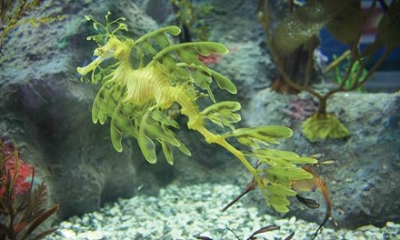 I am not a plant: the leafy sea dragon
